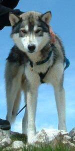 Einer der Gaishorn-Huskies